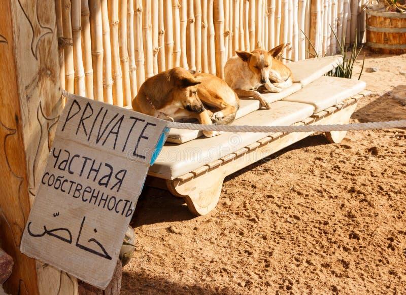 Hundkapplöpningen kopplar av på den privata stranden fotografering för bildbyråer