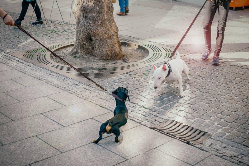 Hundkapplöpningen mötte på gatan Den svarta taxen och den vita bull terrier hunden får bekantade royaltyfria foton