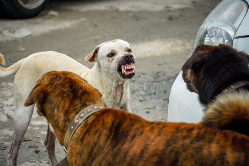Hundkapplöpningen slåss med två hundkapplöpning royaltyfria foton