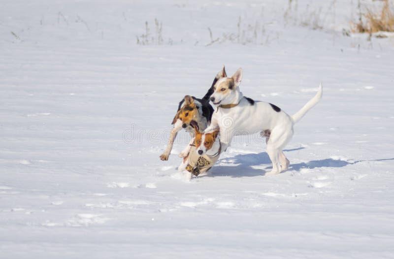 Hundkapplöpningen som anfaller basenji, dog medan lek på en ny snö arkivfoto