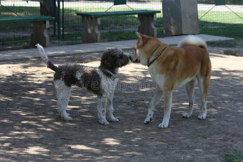 Hundkapplöpningen som introducerar i hund, parkerar royaltyfria bilder