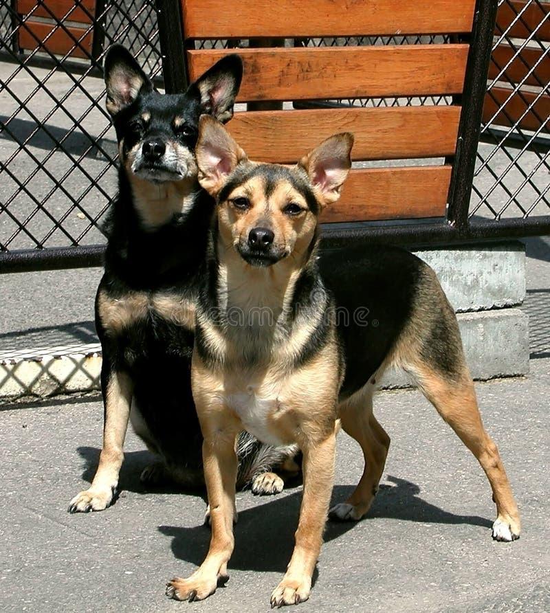 Hundkapplöpningkorsningsyskon Polen Europa royaltyfri fotografi