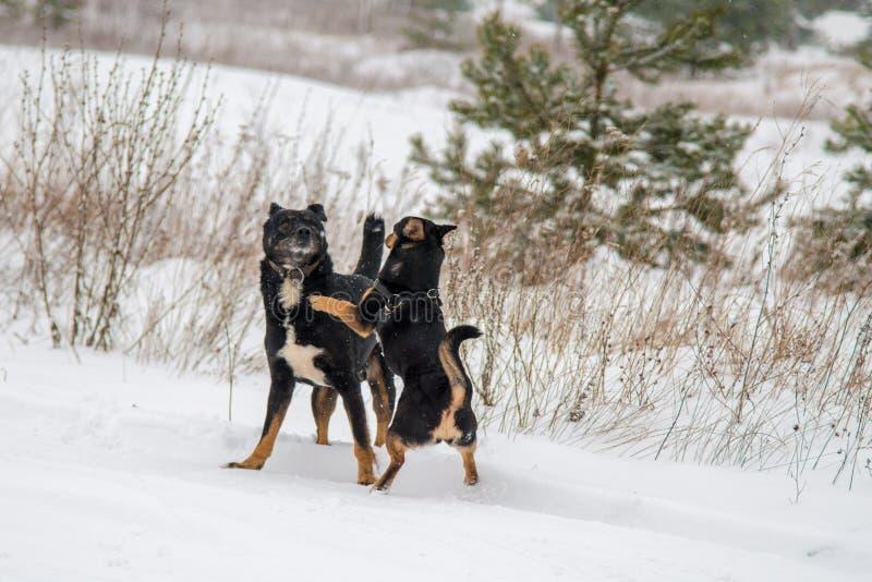 Hundkapplöpninglek i vinter royaltyfria foton