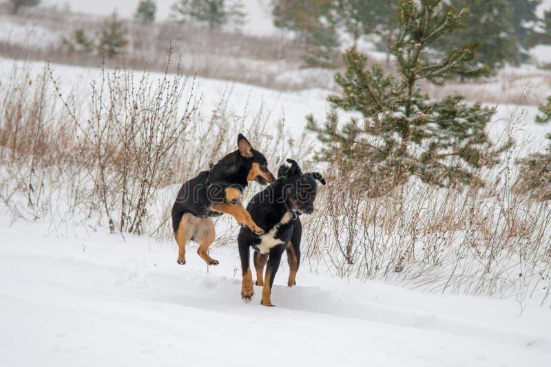 Hundkapplöpninglek i vinter arkivbilder