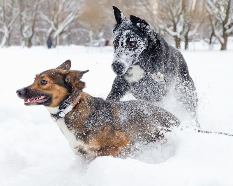 Hundkapplöpninglek med de arkivfoton