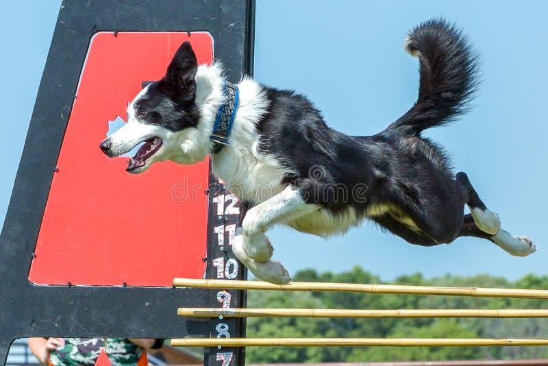 Hundkapplöpningshow arkivbilder