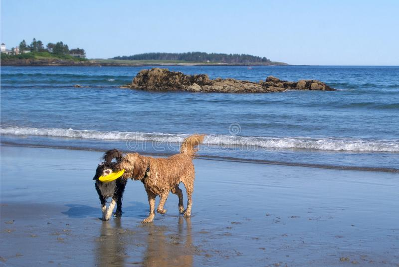 Hundkapplöpningteamwork som hämtar en leksak på stranden