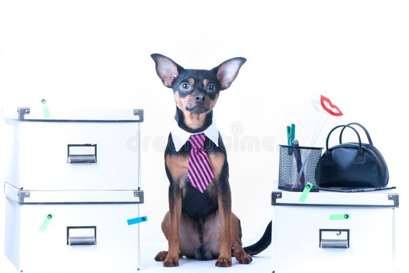 Hundkontorsarbetare En hund i ett band och en vit krage i kontoret Rysk toyterrier royaltyfri fotografi
