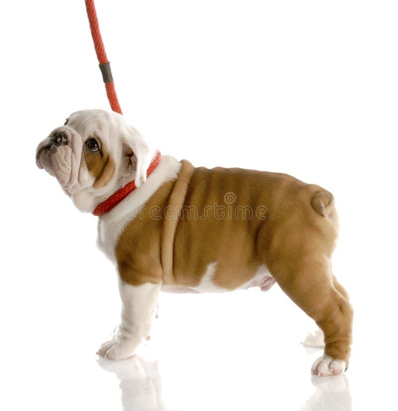 hundkoppel royaltyfri bild