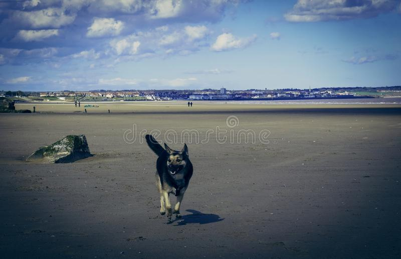 Hundlycka på den Flamborough stranden/kusten royaltyfri fotografi