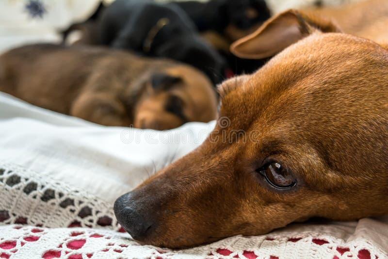 Hundmamma med hennes valpar arkivfoton