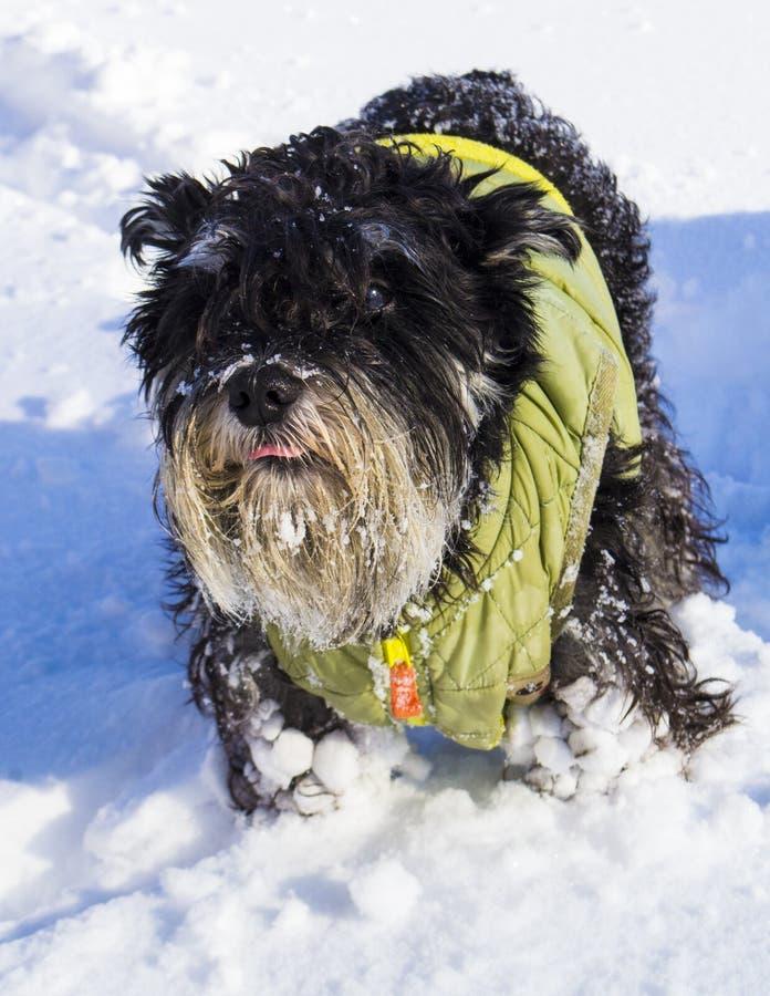 Hundminiatyrschnauzerspring till och med snön arkivfoton