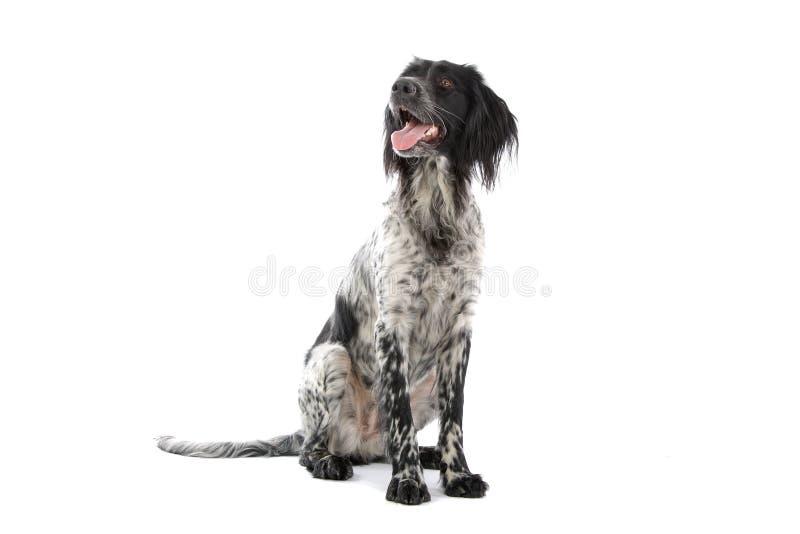 hundmunsterlander royaltyfri bild