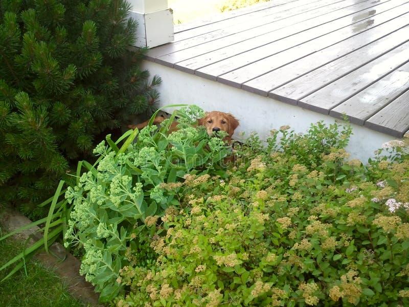 Hundnederlag bak en buske royaltyfria foton