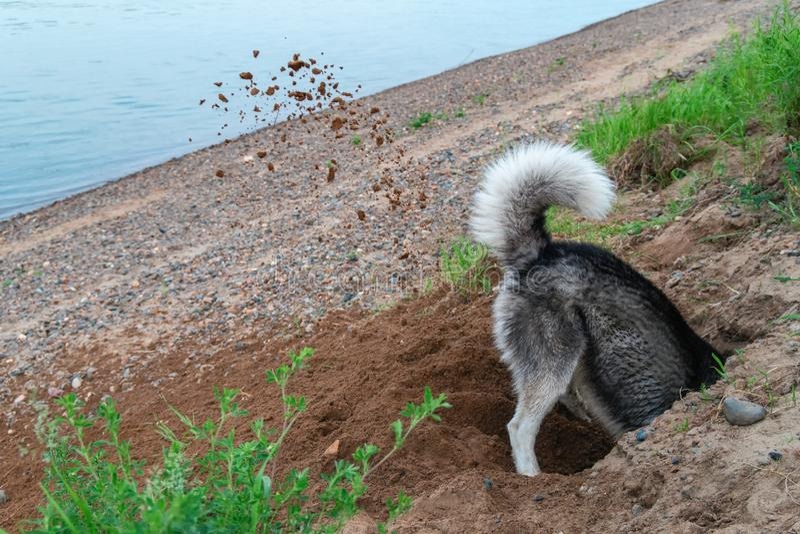Hundpikhål i sanden på stranden Klumpjord som flyger hans, tafsar från under i olika riktningar Gå med husdjuret vid floden fotografering för bildbyråer