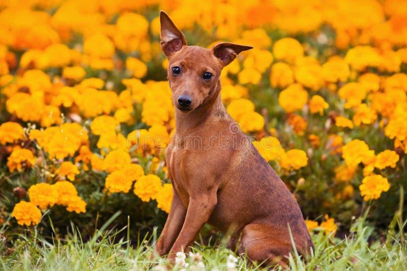 HundPinscher på gräset royaltyfria foton