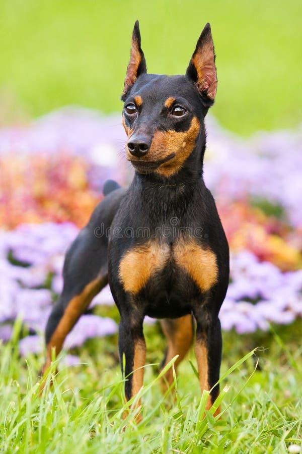 HundPinscher på gräset arkivbild