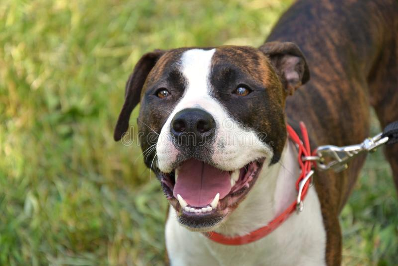 Hundpitbullterrier Roxana Best Star royaltyfri fotografi
