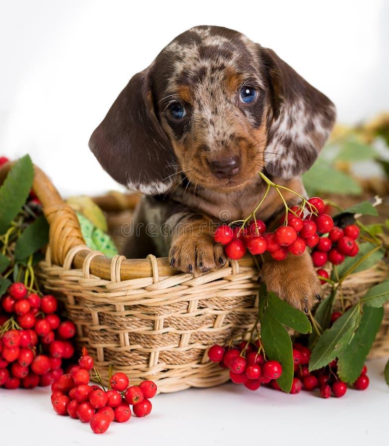 Hundporträtt Dachshund-valp, äppelfärg royaltyfri bild
