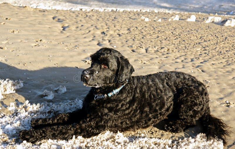 hundportugisvatten fotografering för bildbyråer