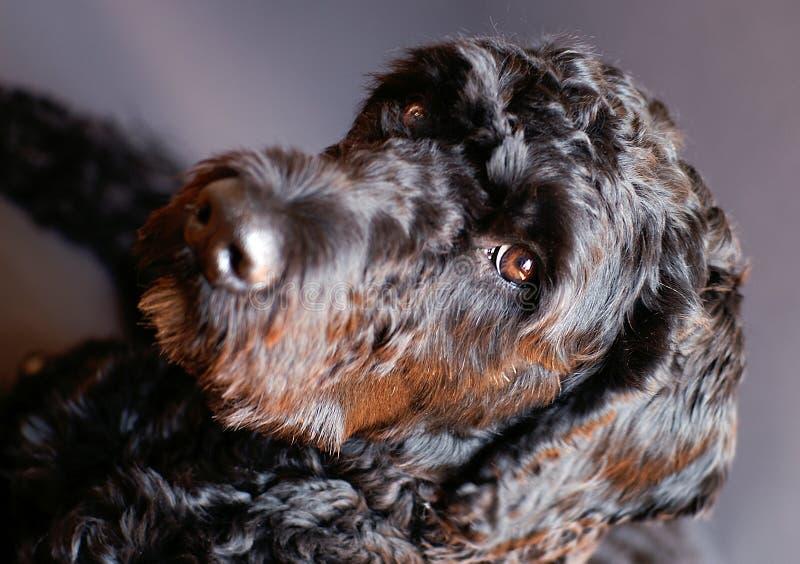 hundportugisvatten royaltyfria bilder