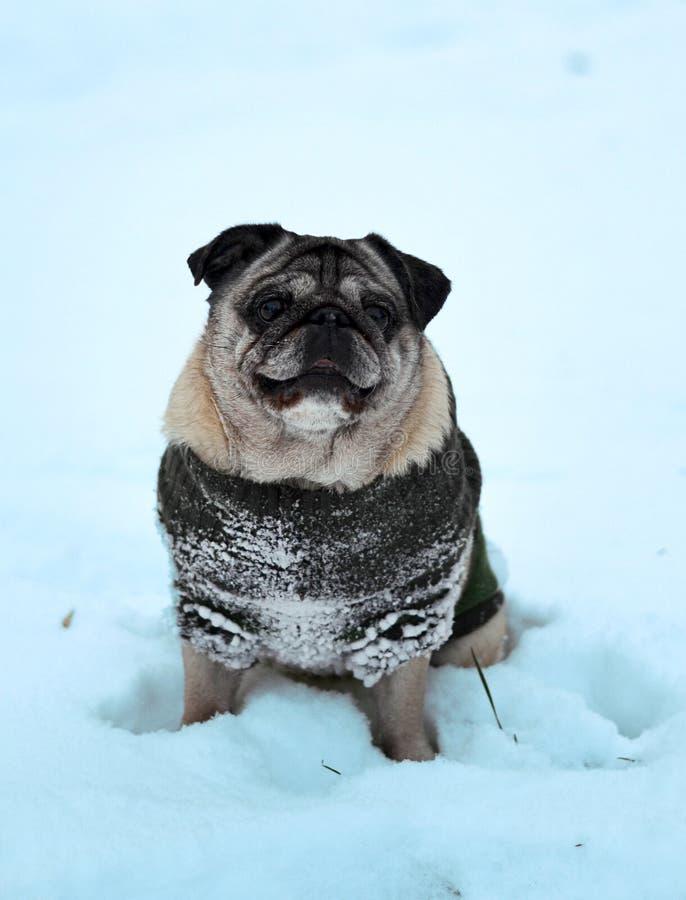 Hundpug auf dem Schnee sitzt lizenzfreie stockfotos