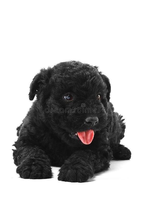 hundpuli royaltyfri bild