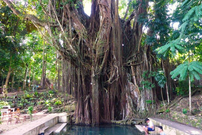 Hundra åriga Balite träd på Siquijor arkivfoto