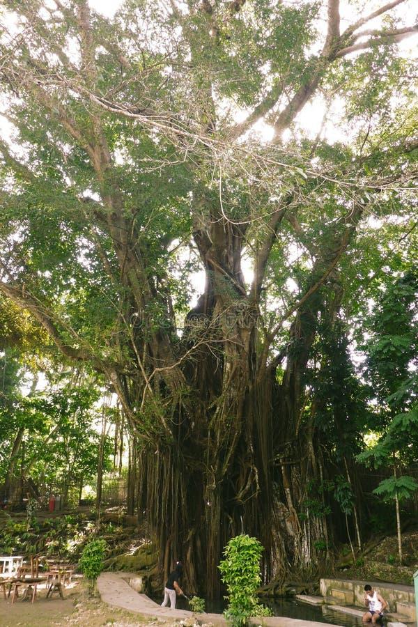 Hundra åriga Balite träd på Siquijor royaltyfri bild
