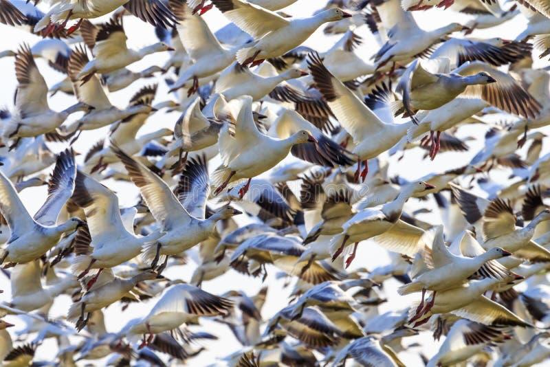 Hundratalssnögäss som tar av att flyga Washington arkivbilder