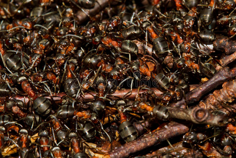 Hundreds of ants. Hundreds of European red wood ants (Formica polyctena) crawling on an anthill in the first sun of early spring royalty free stock images