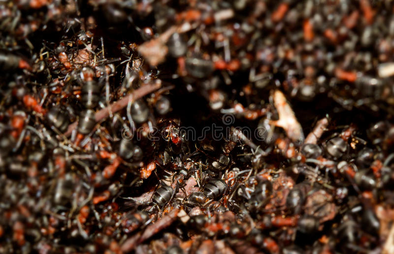 Hundreds of ants. Hundreds of European red wood ants (Formica polyctena) crawling on an anthill in the first sun of early spring royalty free stock photos