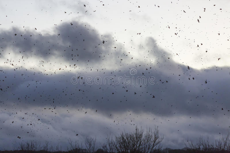 Hundreds of Crows Flocking. Hundreds of crows flock in a cloudy Scottish winter sky royalty free stock photo