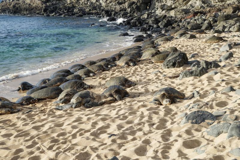 Green Sea Turtles on a Maui Beach. Hundreds of Hawaiian Green Sea Turtles resting on a Maui Beach royalty free stock photography
