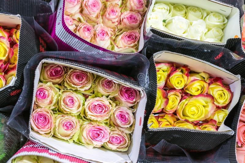 Hundreds of multicolored roses wrapped in paper. Fresh flower background. Flower growing and production business royalty free stock photos