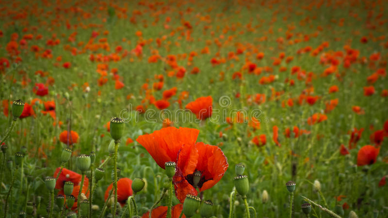 Hundreds of poppies. Photographed in Istria region,Croatia, Europe royalty free stock image
