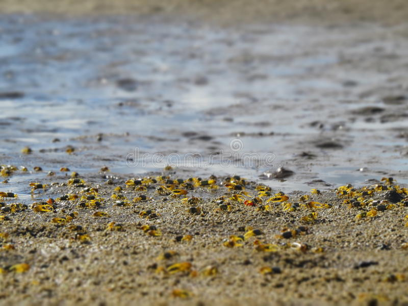 Hundreds of small crabs with a few days of life royalty free stock images