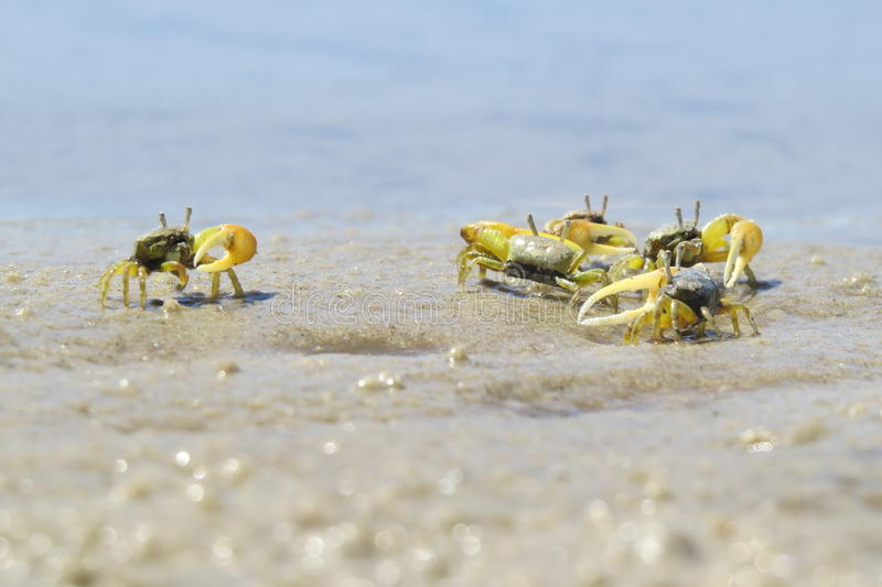 Hundreds of small crabs with a few days of life royalty free stock photo