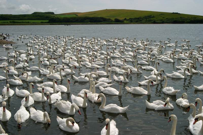 Download Hundreds of swans stock image. Image of bird, cygnet, swannery - 12419