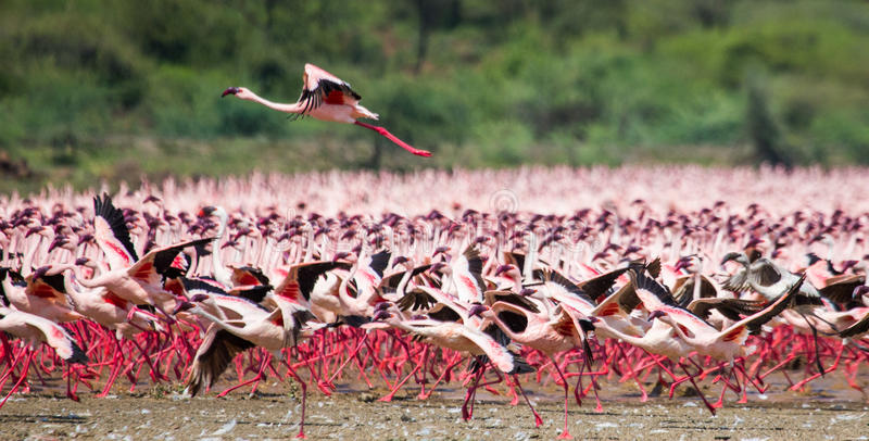 Hundreds of thousands of flamingos on the lake. Kenya. Africa. Lake Bogoria National Reserve. An excellent illustration stock photo