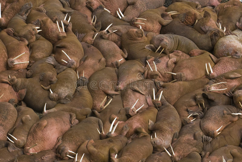 Hundreds of walruses on the beach at Round Island,. Thousands of male walruses (Odobenus rosmarus) sunbathing together on the beaches of Round Island, Walrus stock photos
