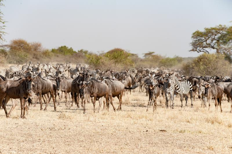 Wildebeests and Zebras at great migration time in Serengeti, Africa, hundrets of wildebeests together royalty free stock image
