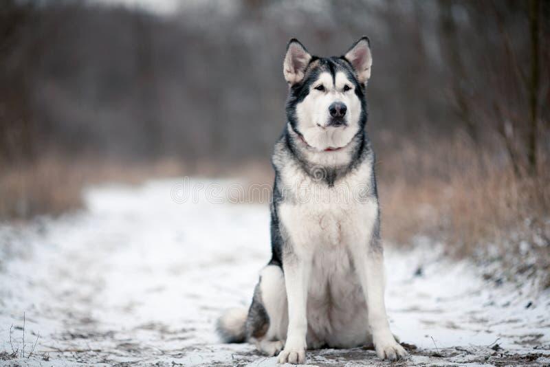 Hundsammanträde för alaskabo malamute i snö royaltyfria foton