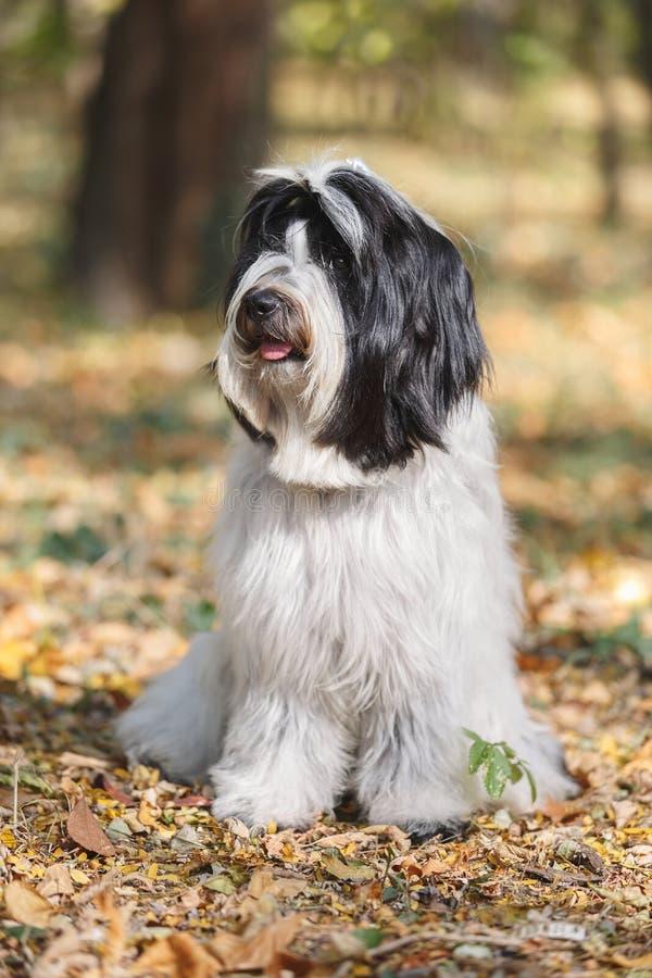 Hundsammanträde för tibetan terrier på vägen, i skog och att koppla av, royaltyfri fotografi