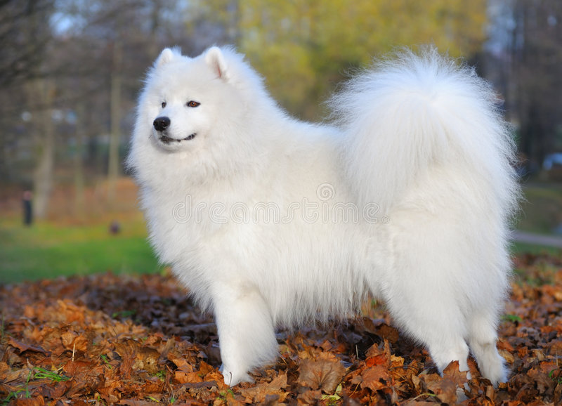 Download Hundsamoyed arkivfoto. Bild av hund, pedigree, husky, eskimo - 7376130