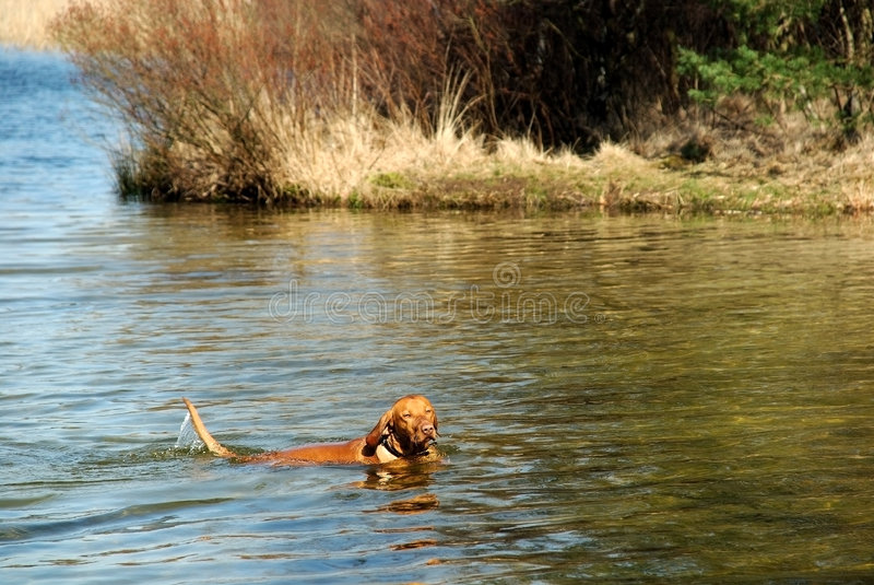 hundsimning royaltyfri foto
