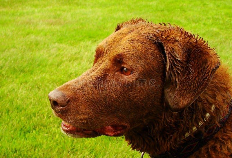 hundsimning royaltyfria foton