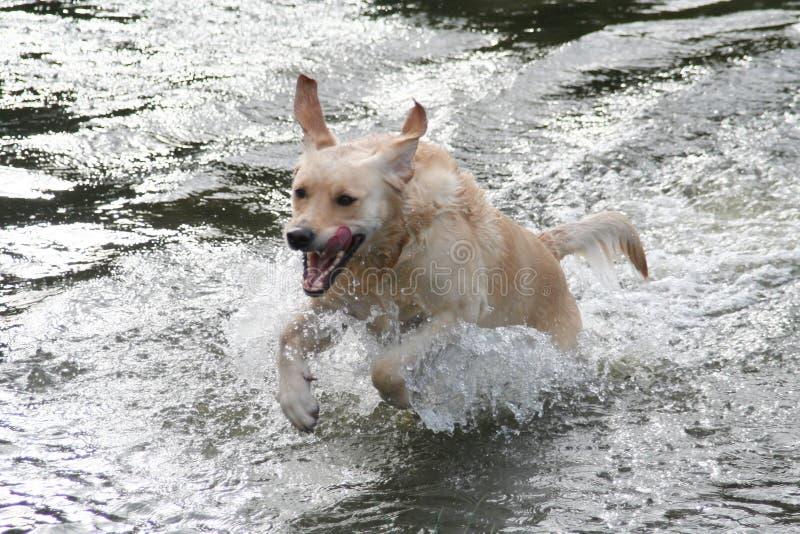 hundsimning arkivbild
