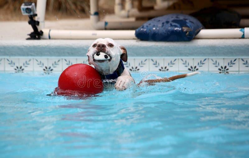 Hundsimning i pölen med leksaker royaltyfri fotografi