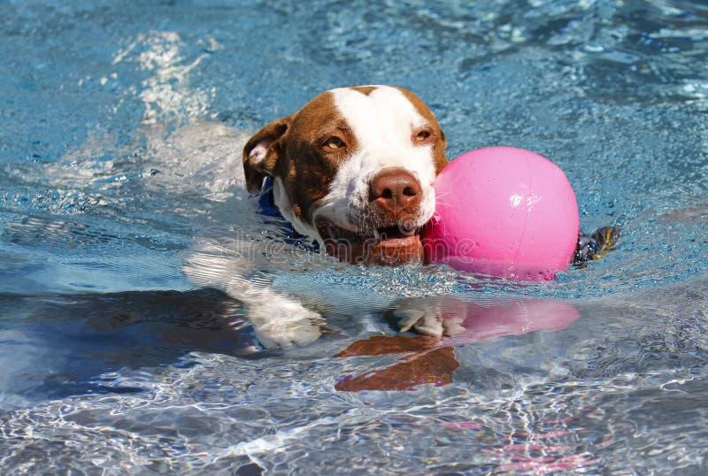 Hundsimning med en rosa boll royaltyfri fotografi